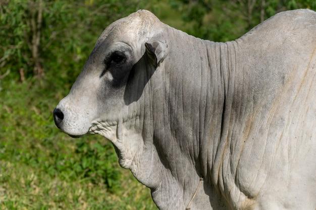 Profil du taureau nelore de la ferme