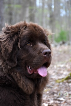 Profil pelucheux étonnant d'un chien de terre-neuve brun poilu