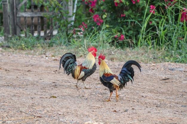 Promenade de coq dans la cour de la ferme