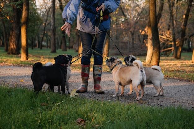 Promeneur de chien professionnel promeneur de chien promenant des chiens dans un parc au coucher du soleil d'automne marchant dans la meute de