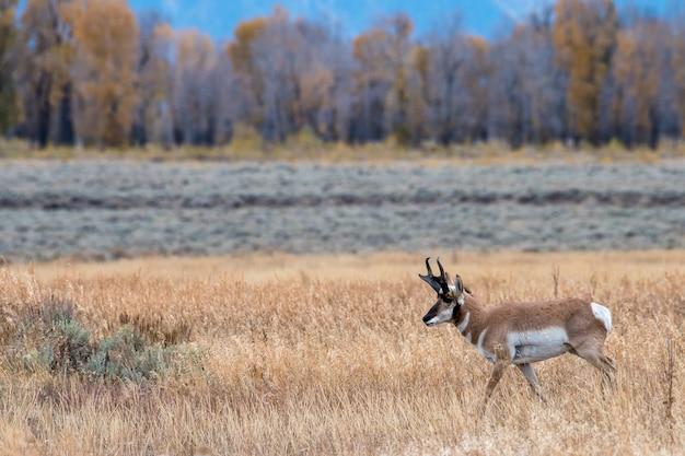 Pronghorn dans un golden meadow en automne