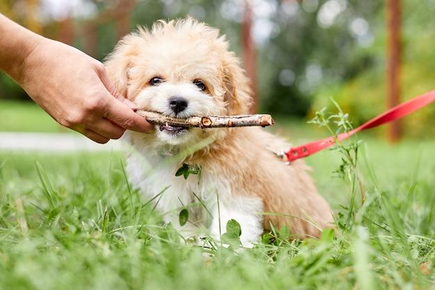 Le propriétaire du chien donne un bâton dans les dents d'un chiot maltipoo