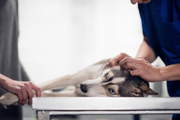 Le propriétaire du chien tient son animal de compagnie pendant que le vétérinaire vérifie ses oreilles. isolé sur blanc.