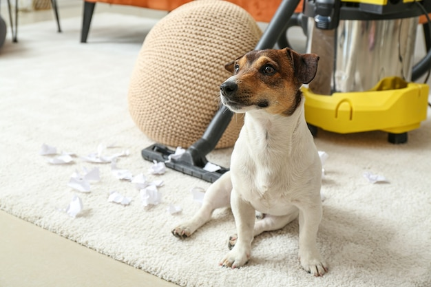 Propriétaire nettoyant le tapis après un chien méchant