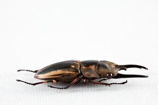 Prosopocoilus zèbre coléoptère taxidermied
