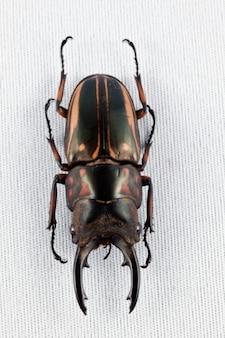 Prosopocoilus zèbre coléoptère