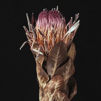 Protea rose séchée avec des feuilles sur fond noir
