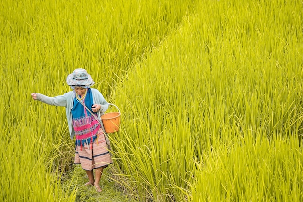 Province de chiang mai, thaïlande. riziculteur semer le grain à pa bong piang dans le nord de la thaïlande