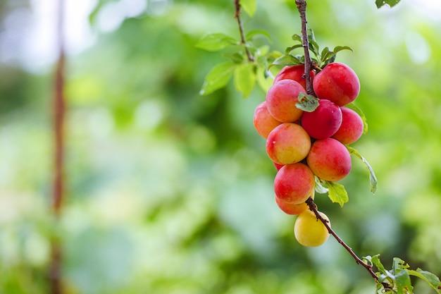 Prune cerise ou myrobalan prunus cerasifera drupe mûre rouge, fruit à noyau de branches d'arbre en été. vergers pendant la récolte des fruits.