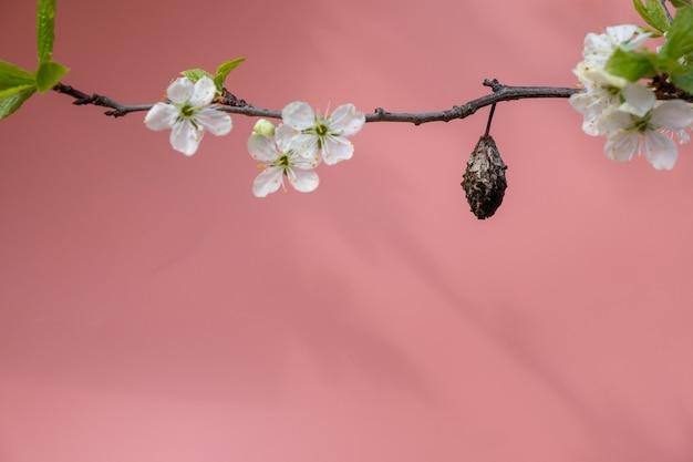 Prune séchée sur une branche avec des fleurs sur fond rose vif