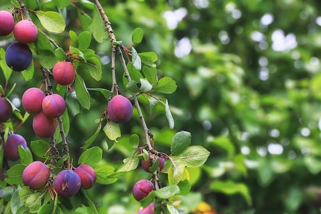 Prunes sur l'arbre faible profondeur de champ village d'été