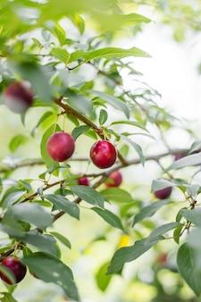 Prunes mûres rouges sur l'arbre, baie mûre sur la branche d'un prunier dans le jardin