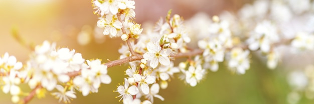 Les prunes ou les pruneaux fleurissent des fleurs blanches au début du printemps dans la nature. mise au point sélective. bannière. éclater