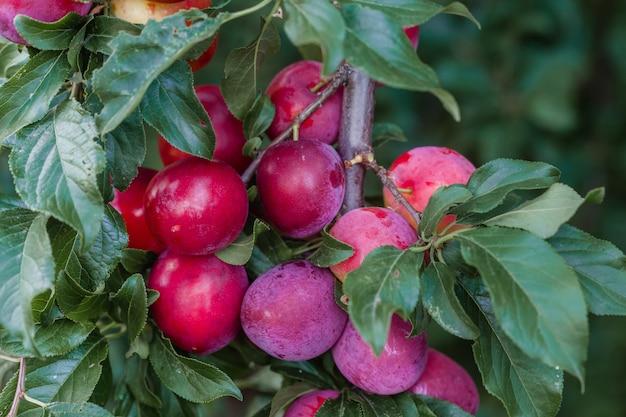 Prunier avec de grandes grosses prunes rouges