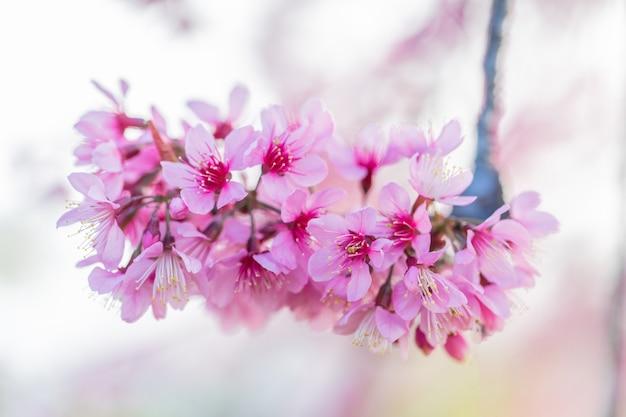 Prunus cerasoides une belle fleurs sauvages dans la nature.
