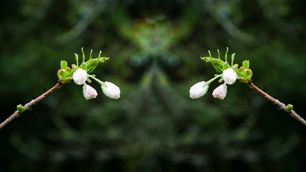 Prunus serrulata ou cerisier japonais en pleine floraison.