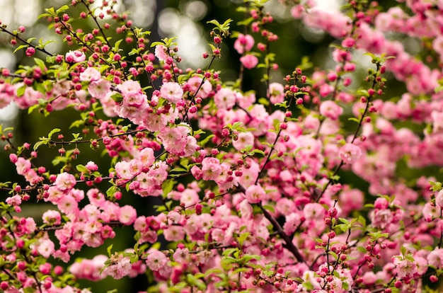 Prunus triloba (louiseania) fleurit. buisson printanier d'amande avec de belles fleurs roses.