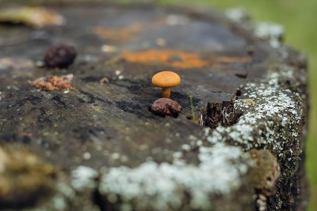 Psathyrella candolleana, groupe de champignons poussant sur l'arbre.