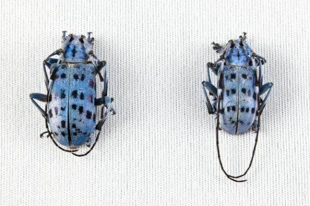 Pseudomyagrus waterhousei coléoptère paire