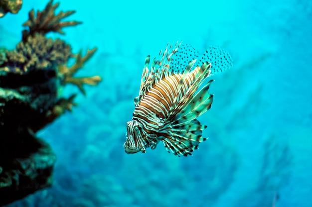 Pterois feu-poisson diable-poisson sous l'eau