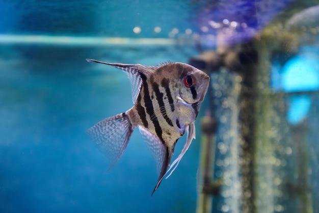 Pterophyllum poisson-ange sur l'eau bleue. animaux d'aquarium