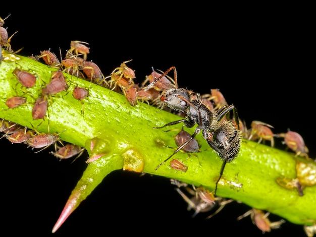 Les pucerons ou les poux des plantes sont de minuscules insectes qui se nourrissent de la sève des plantes, de la superfamille des pucerons ou des aphidoidea.