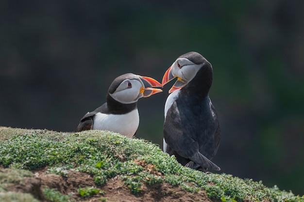 Puffin kiss