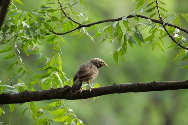 Le puffthroated babbler assis sur l'environnement de la nature branchin