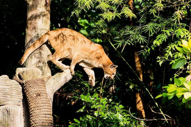 Puma face à l'état sauvage
