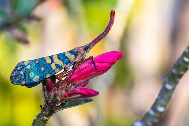 La punaise fulgoride (planthopper) sur la fleur.