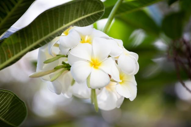 Pureté du plumeria blanc avec la lumière du matin
