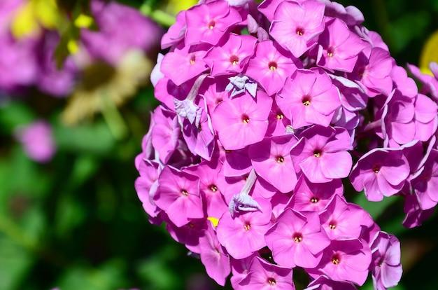 Purple garden phlox paniculata, fond d'été de fleurs roses