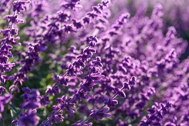 Purple lavender closeup fond