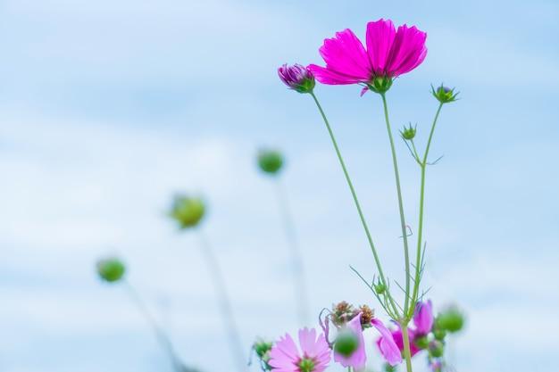 Purple sweet cosmos fleurs dans le ciel
