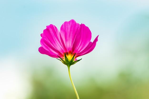 Purple sweet cosmos en fleurs dans le jardin