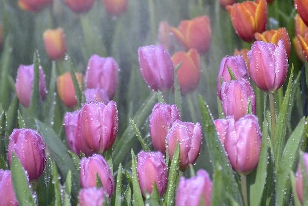 Purple tulips in beautiful gardens
