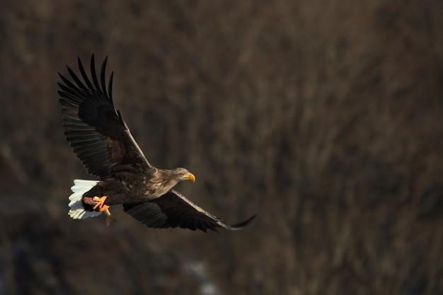 Pygargue à queue blanche volant sous la lumière du soleil
