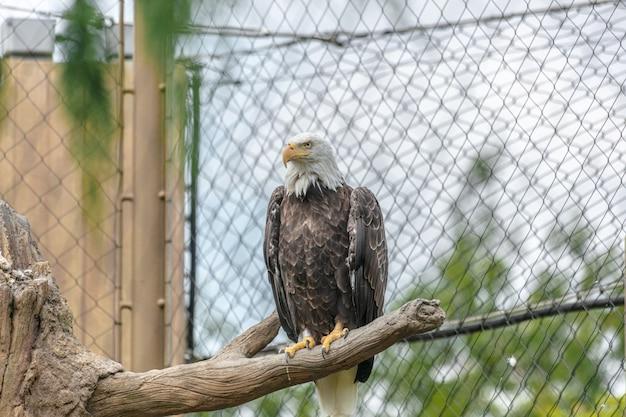 Pygargue à tête blanche avec un bec jaune assis sur une branche d'arbre entourée de clôtures à mailles de chaîne dans un zoo