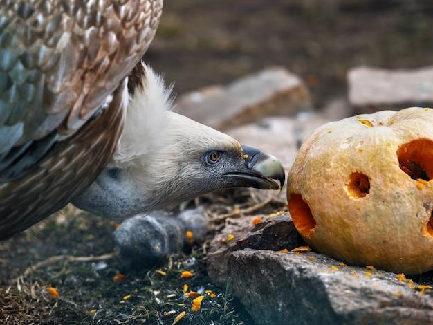 Le pygargue à tête blanche mange de la citrouille