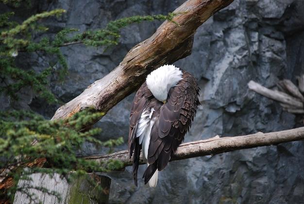 Pygargue à tête blanche avec la tête enfouie dans ses plumes.