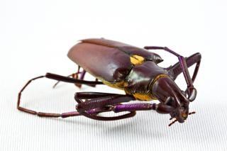 Pyrodes longiceps coléoptère sur chenilles
