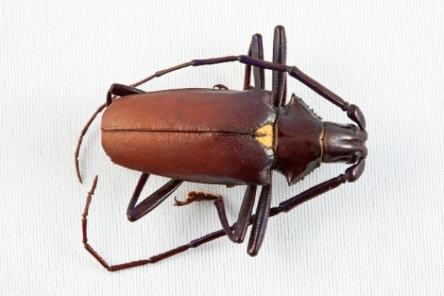 Pyrodes longiceps coléoptère
