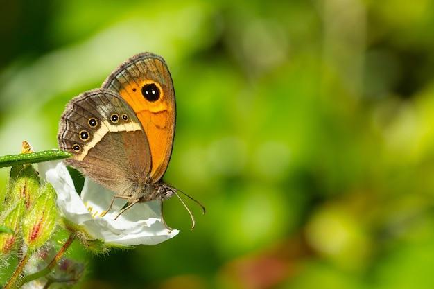 Pyronia bathsheba, le gardien espagnol, sur fleur blanche