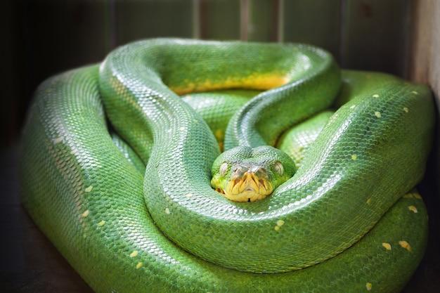 Python d'arbre vert