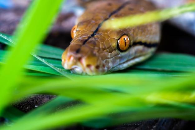 Python (morelia viridis). gros plan de l'oeil