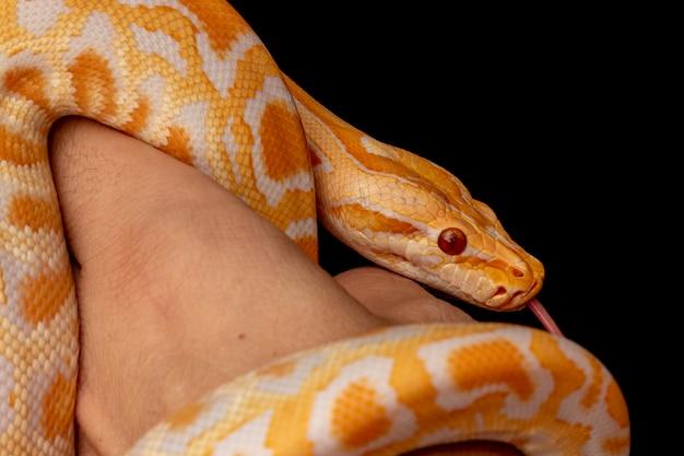 Python d'or, python réticulé (python reticulatus).