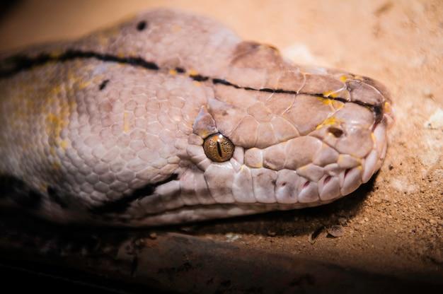 Python l'un des plus grands serpents au monde