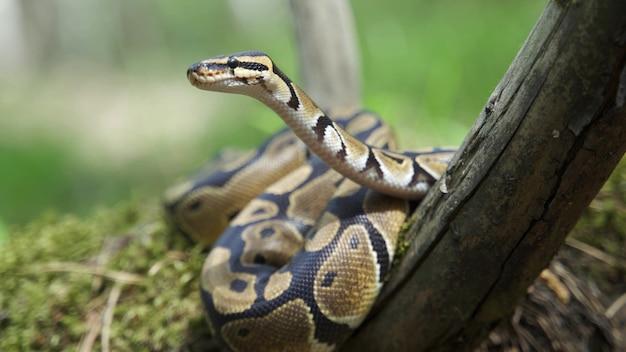 Python royal ou python regius sur chicot en bois. fermer