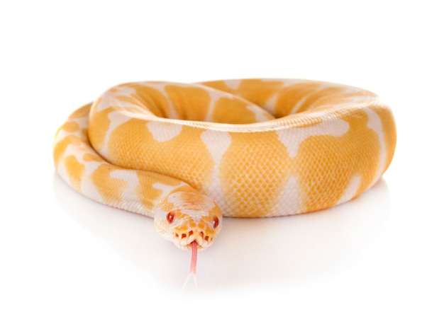Python royal en studio