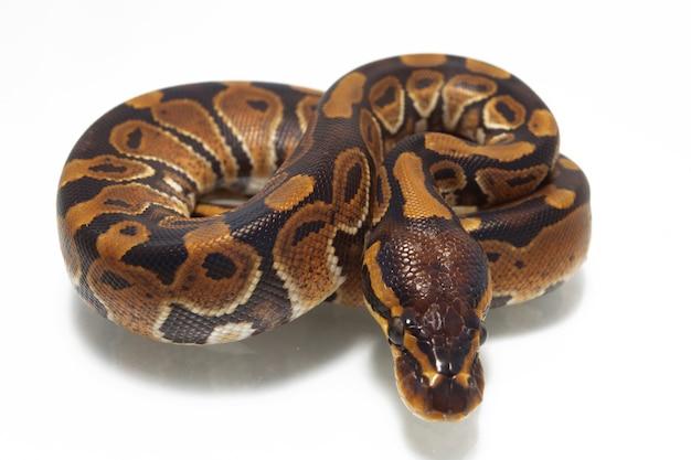Python royal sur table blanche